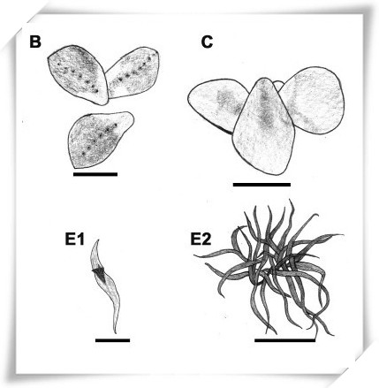 Genera of Lemnaceae