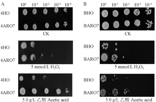 Impact of gene ARO7 overexpression on S. cerevisia