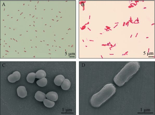Phosphate accumulating bacterial isolates under OM