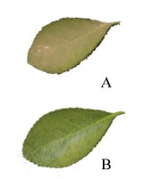 Leaf images with  and without dust