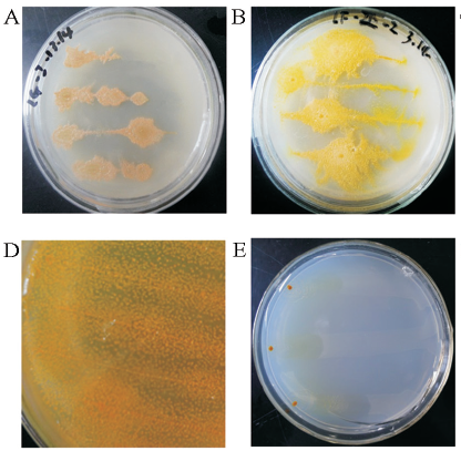 Colony morphology of some myxobacteria strains