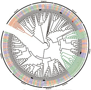 phylogenetic tree of WRKY genes among potato, Arab
