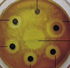 Antimicrobial activity against Bacillus subtilis o