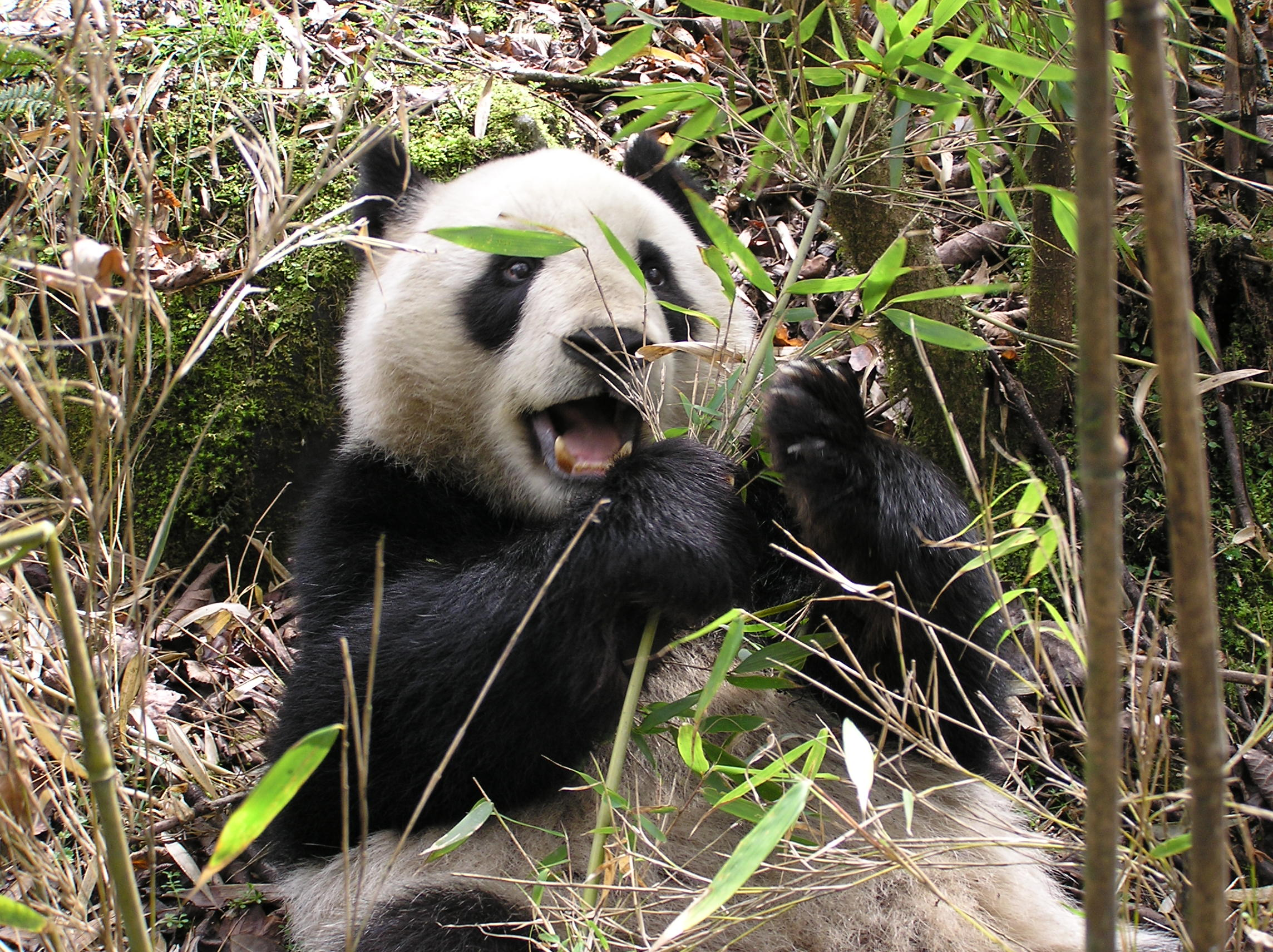 Giant panda 'Xiangxiang' eating umbrella bamboo (p